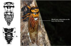Characteristic markings for Raiateana Knowlesi. Picture: a. Adapted from Duffels, 1988, b. © Jone Niukula