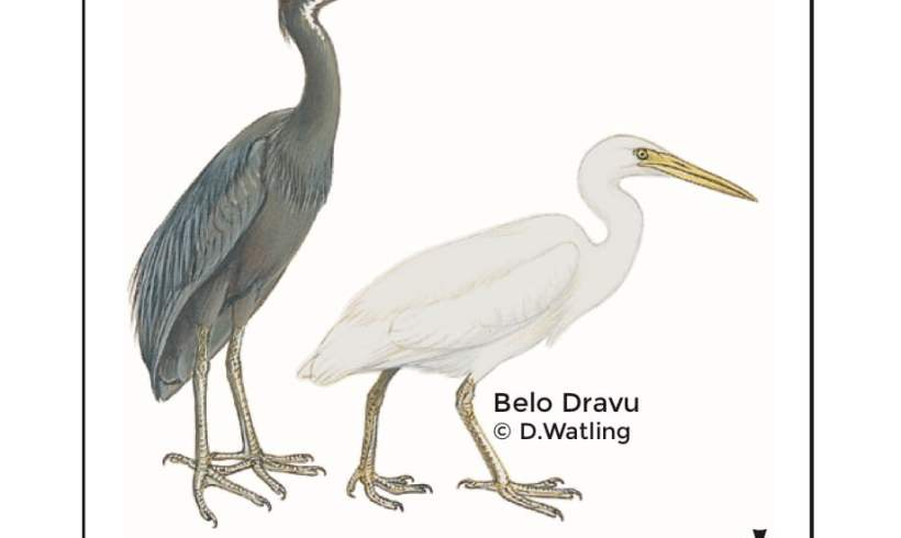 Birds in Fiji's Forests: Belo Dravu