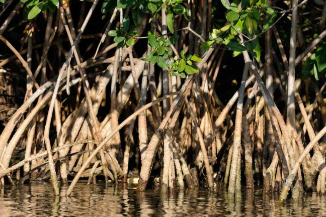 mangrove trunks