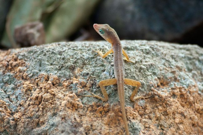 A fragile looking anole, slightly orange and green around the eyes