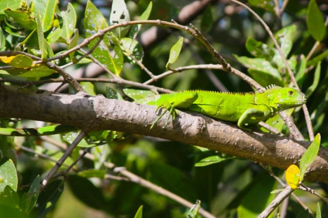 A bright green iguana sitting on a branch of a tree