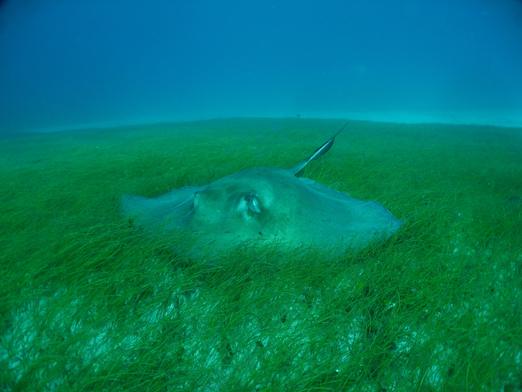stingray in seagrass