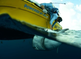 People hanging from a boat tagging a tiger shark
