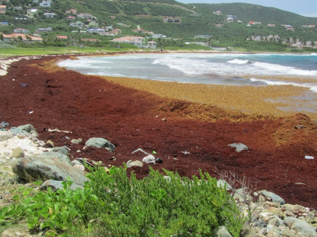 sargassum seaweed on beach