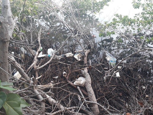 plastic stuck in mangrove trees