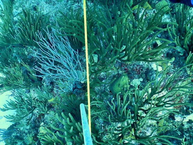 tape measure in a coral reef