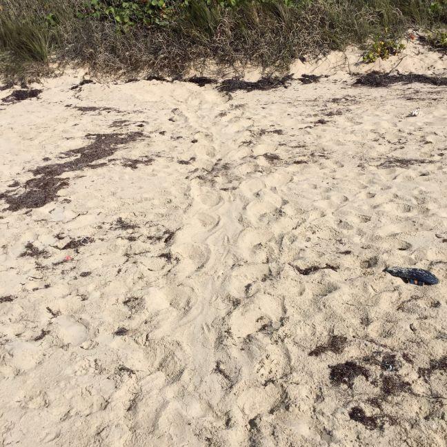 sea turtle tracks in sand