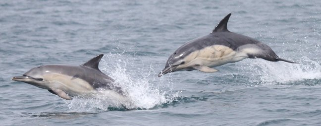 Two Dolphins with a white slightly yellow flank