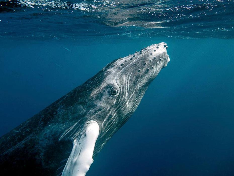 A grey blue whale