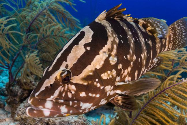 A big brown and white striped fish with a relatively big mouth
