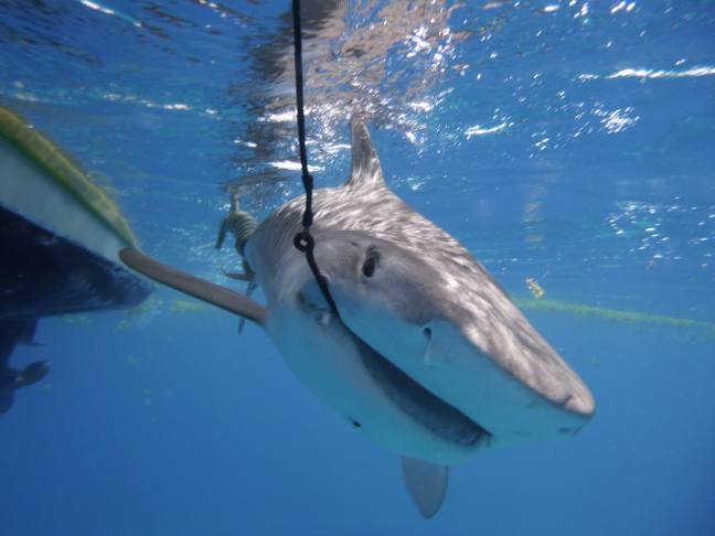 captured shark on a hook