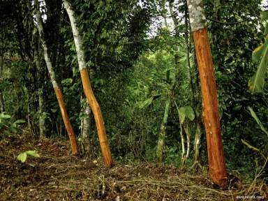 Árboles de canela