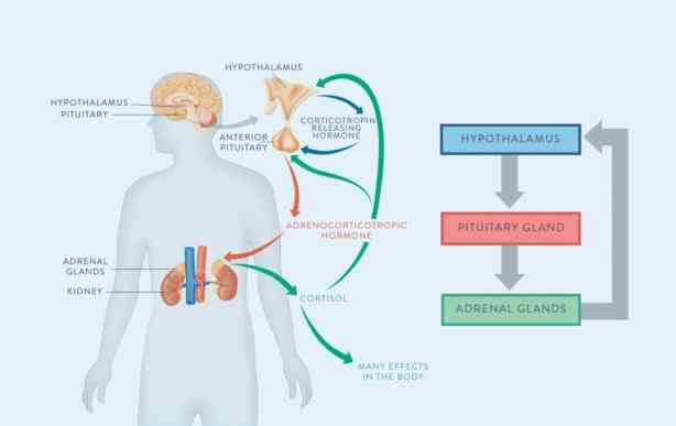 What-Is-Adrenal-Fatigue-Demistifying-Adrenal-Fatigue-The-Paleo-Mom-HPA-Axis