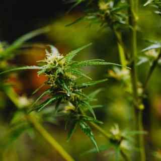 Douleurs chroniques et cannabinoides - Cannabis - Nature Going Smart