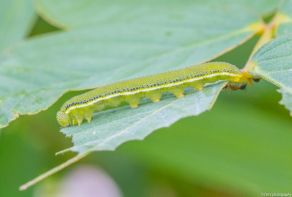 Caterpillar by Tim