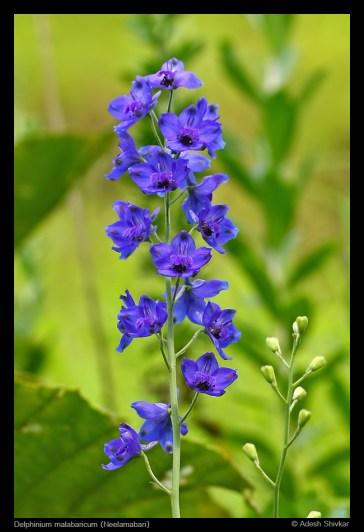 Delphinium malabaricum-2
