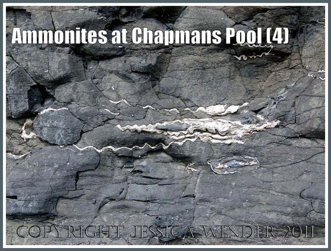 Ammonites At Chapmans Pool Jessica S Nature Blog