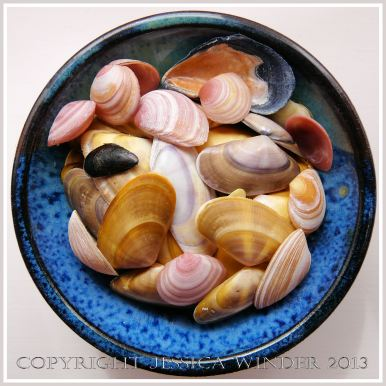 Arrangement of Seashells 2 - Colourful common British bivalves - mostly Banded Wedge Shells.