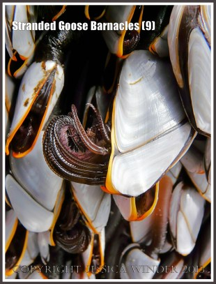 Live Goose or Stalked barnacles on the beach with cirripedes semi-extended
