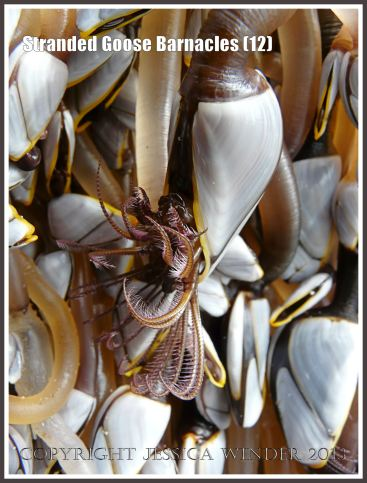 Goose barnacle out of water showing fully extended cirripede appendages for feeding