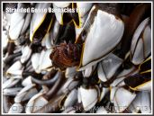 Goose Barnacle out of water showing half extended hairy legs or cirripede appendages.