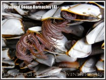 Goose barnacles out of water showing extended pink-fringed cirripede appendages.