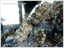 Barnacles growing beneath Mumbles Pier
