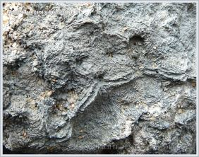 Fossil coral in the Ringstead Coral Bed of the Jurassic Corallian Formation