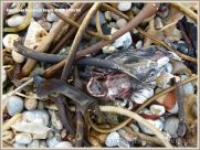 Carcass of dead bird washed ashore at Ringstead Bay