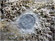 "The shallow circular depression of a limpet ""home-base""."