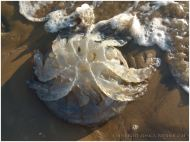 Either a Barrel Jellyfish or an unusually large Compass Jellyfish