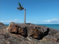 Stunted palm tree growing on a rocky outcropn near the Lookout on Four Mile Beach in Port Douglas