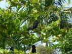 Beach Almond tree with black parrots eating the fruit at Port Douglas