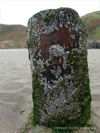 Stump of a wooden post with iron staining belonging to an unidentified structure on Rhossili beach