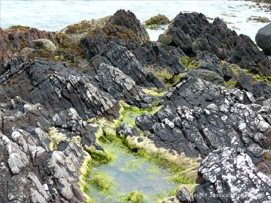 Devonian sandstone rocks on the seashore with black lichens and green algae-filled pool lichens