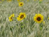 Sunflowers and hybrid barley in Nitten Field
