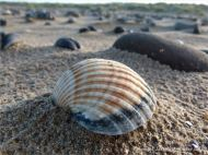 Cockle shell close up on the sand