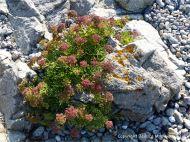 L'Eree Granite with flowers on the beach near Lihou Island