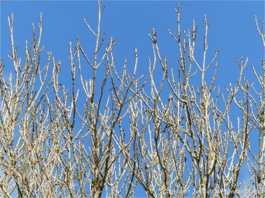 Ash tree branches with black leaf buds against a blue sky