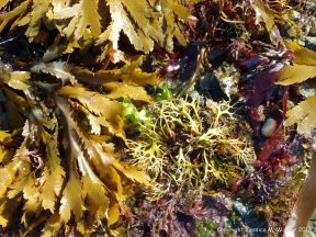 Common British seaweeds at Rocquaine Bay