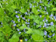 Wild violets and other ground cover plants near the Lone Shieling