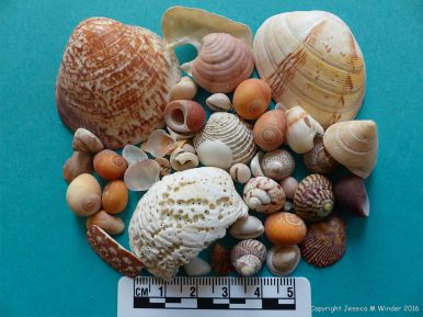 Image showing mature sized seashells from Herm Island