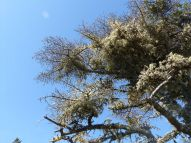 Lichen growing on bare branches of trees along the Louisbourg Lighthouse Trail