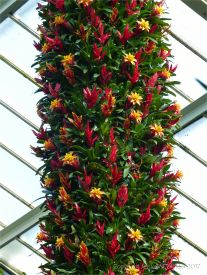 Bromeliads in the Princess of Wales Conservatory at Kew Gardens
