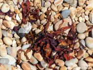 Dried red seaweed on pebbles at the seahore
