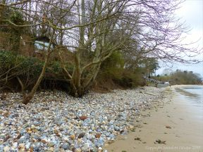 Small trees growing in sand and pebbles where wave action has washed away soil at the top of the beach