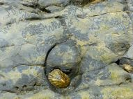 Limpet in home base with grazing track marks.