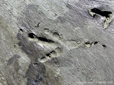 Large bird footprint with skin impression in soft mud on the beach