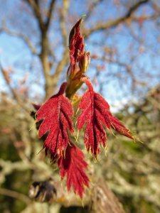 black-oak-new-leaves-3x4 b