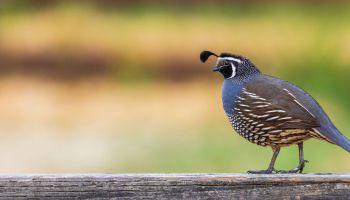 Backyard Birdsong – Nature in Novato